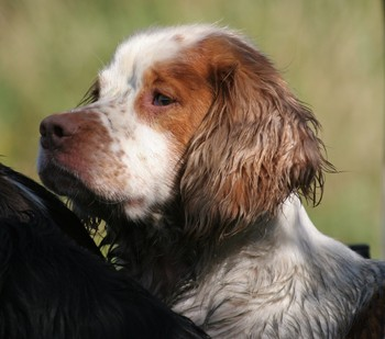 Working spaniel small