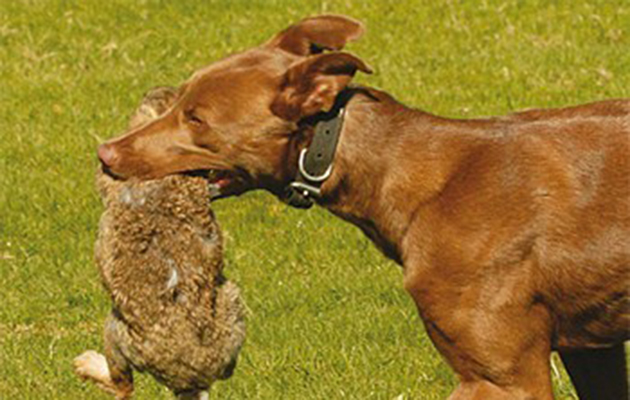 Lurchers The Best Dog For Rabbiting