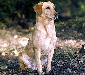 gun dog Labrador.