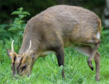 call muntjac deer
