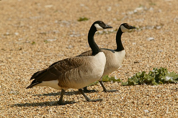 canada geese for sale uk