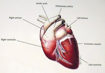 Dog heart diagram - photo#10