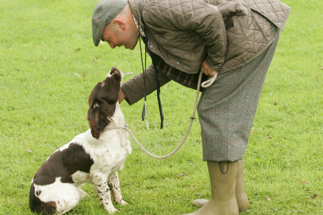 Problems With Springer Spaniels And Hunting Shooting Uk