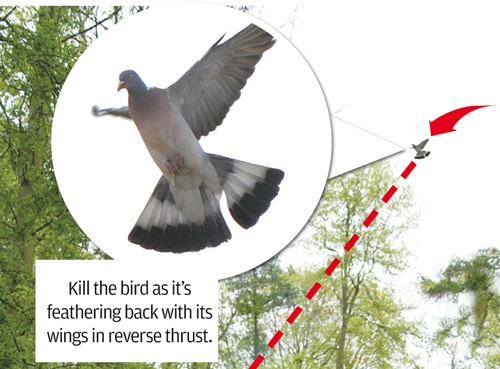 roost shooting pigeon tips