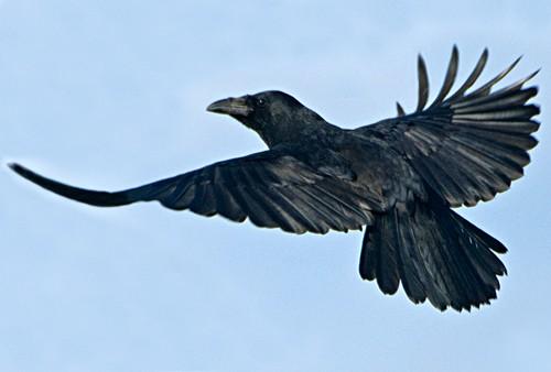 Crow Shooting Amp Vermin Control Shooting Uk
