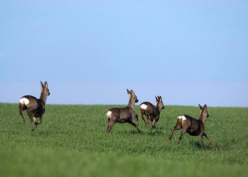 Deer Stalking Dog Breeds