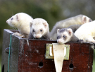 ferrets in a box.png