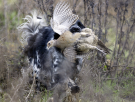 spaniel gundog with hen pheasant.png