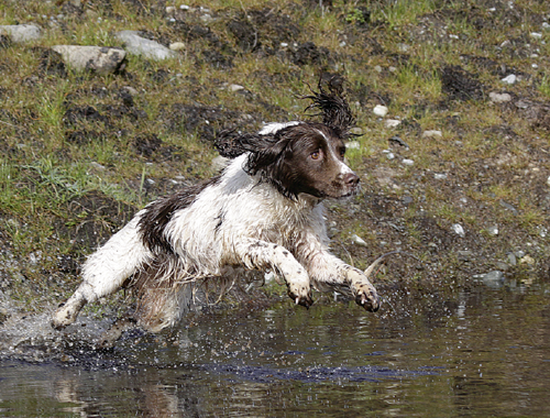 gundog spaniel leaping into water.png