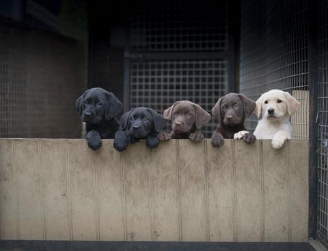 How to buy a gundog puppy