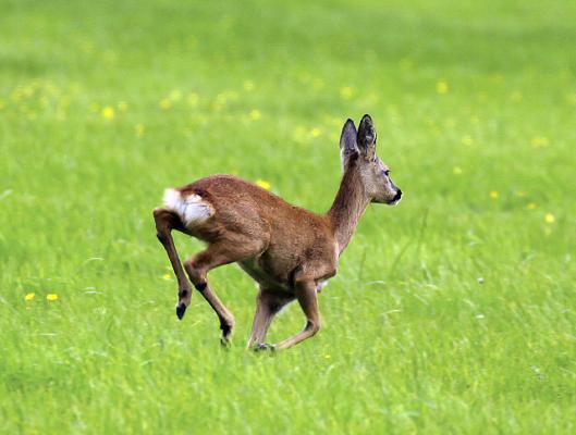 Are lead-free bullets good for deer stalking? - Shooting UK
