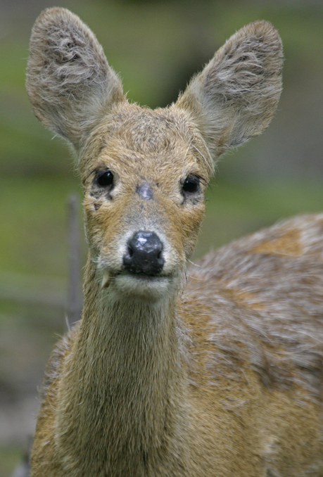 Chinese Deer Species The Chinese Water Deer is a