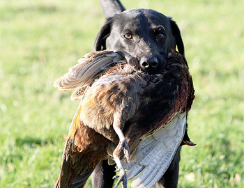 lab gundog bird.jpg