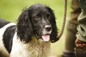 Insurance for gundogs like this one?
