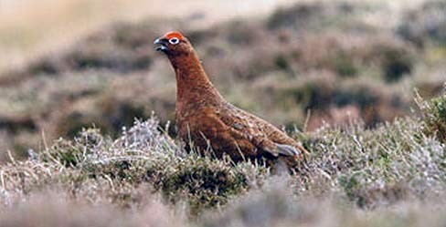 Grouse Hunting England