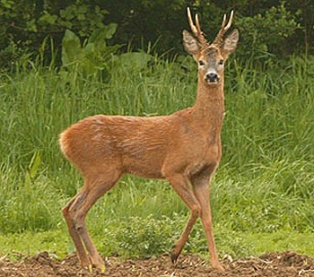 The life and times of the roe deer - Shooting UK