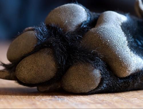 Labrador pad