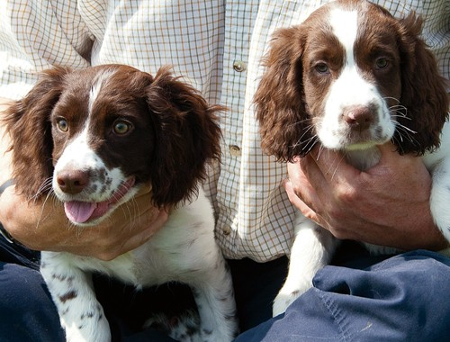 Springer and cocker spaniel puppies