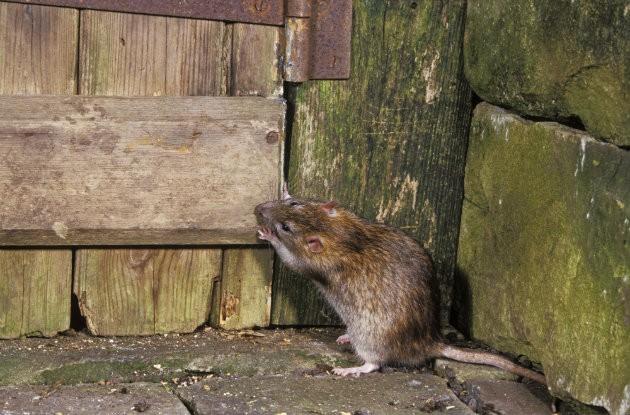 """Résultat de recherche d'images pour """"man shooting rats with pistol"""""""
