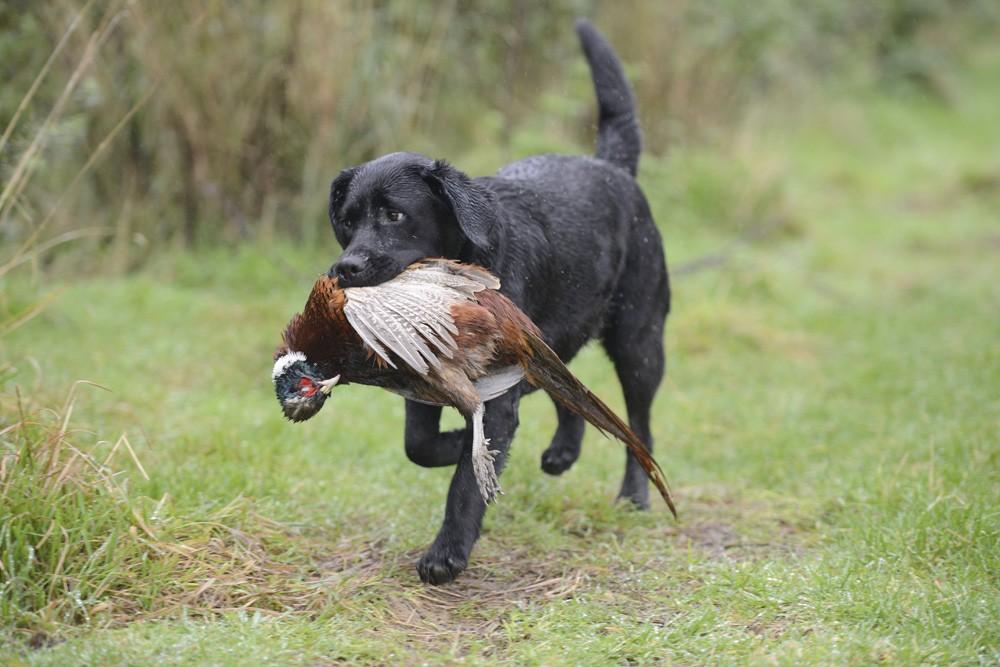 Home Gun Dog Training