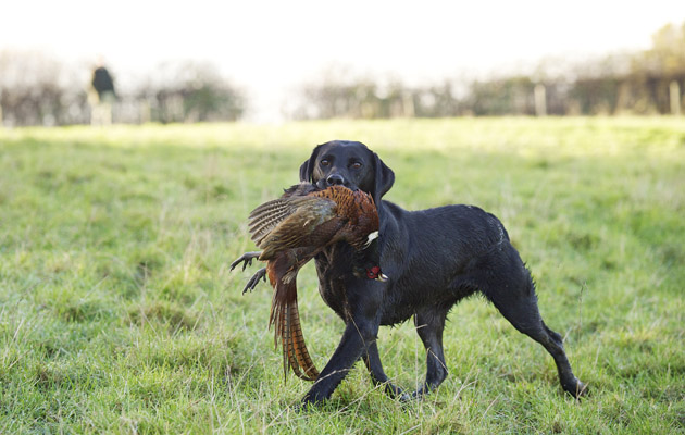 Black Labrador with hen pheasant