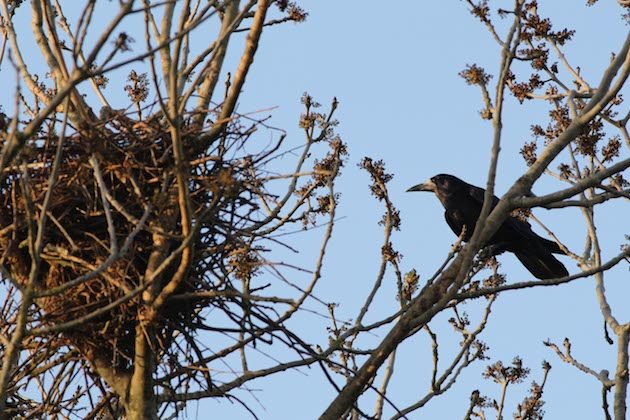 Rooks by a rookery