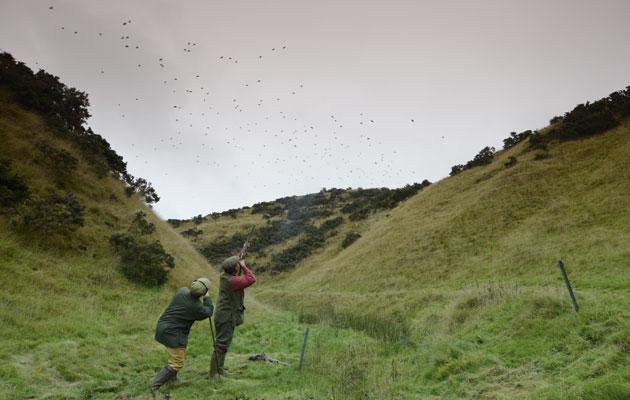 Redleg partridges