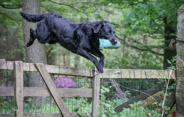 first aid for gundogs