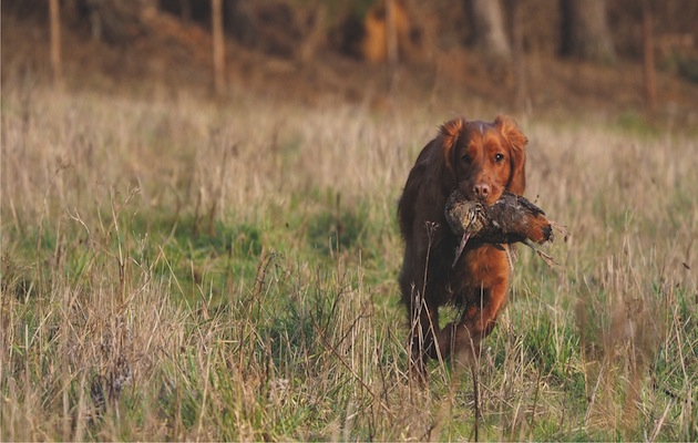 How can I stop my gundog eating game?