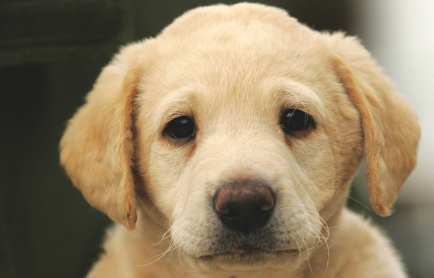 Choosing a gundog puppy - some key advice from an expert