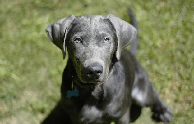 silver Labrador