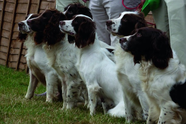 Time for the super-spaniel? - Shooting UK
