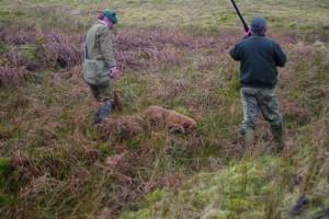Dogs hunting rabbits