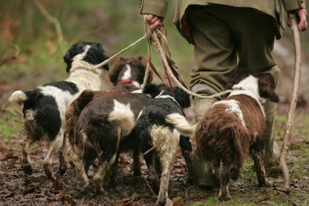 Do spaniels smell more than Labradors? - Shooting UK