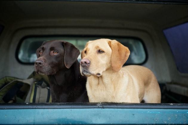 Labradors in pickup