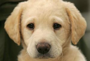 Gundog puppy