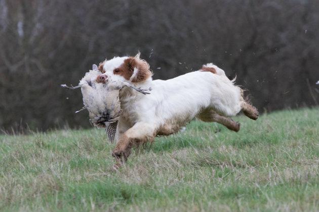 Clumber spaniel retrieving pheasant