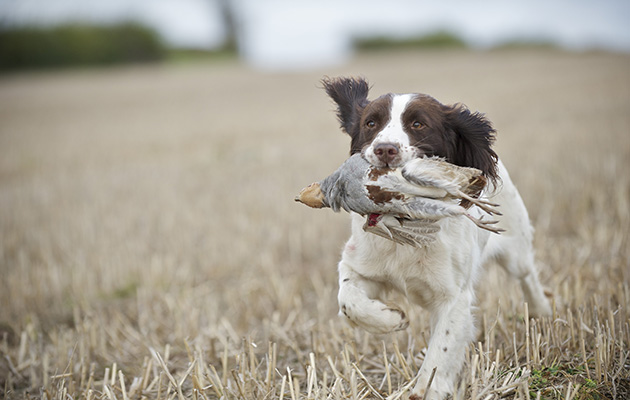 Shooting Dog Breeds