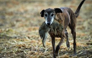 Retiring lurcher from ferreting