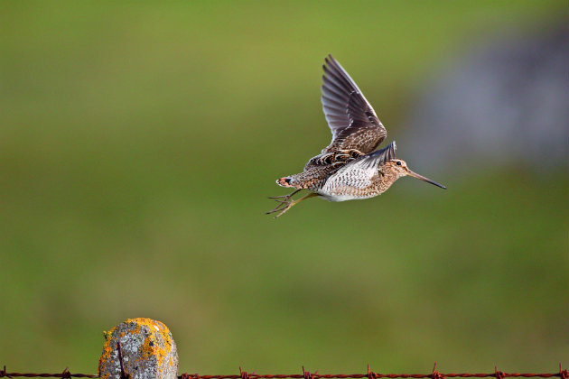 Snipe - how can you cultivate an ideal habitat for them?