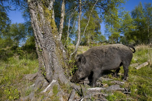 Wild boar shooting in the UK - what you need to know