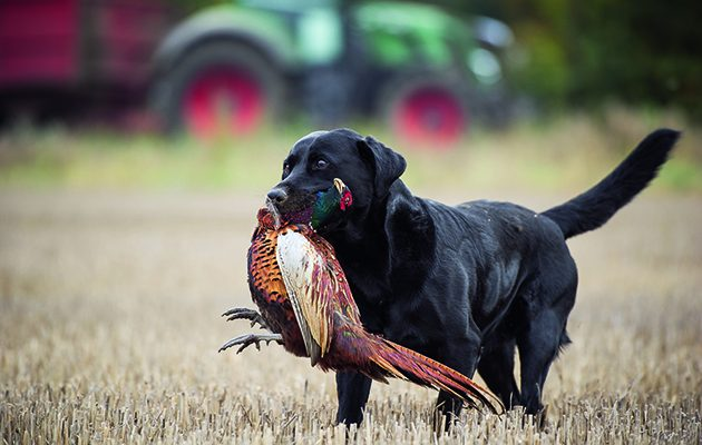 The Allure Of The Labrador Shooting Uk