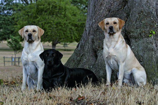 Black and yellow Labrador retrievers