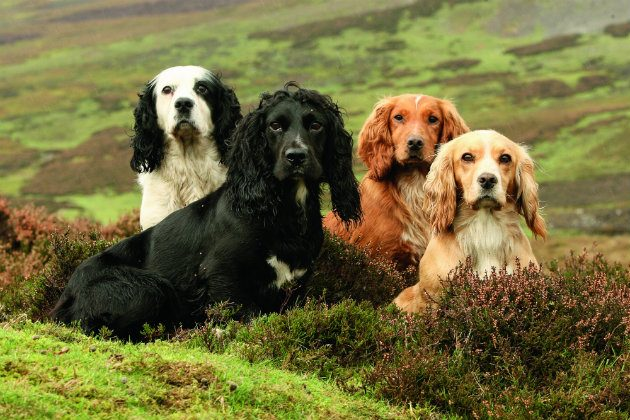 Pictures Of Cocker Spaniels