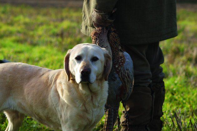 Labrador and handler