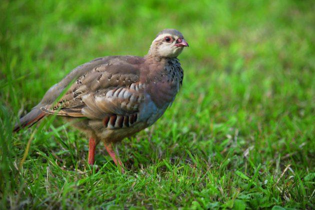 partridges ile ilgili görsel sonucu
