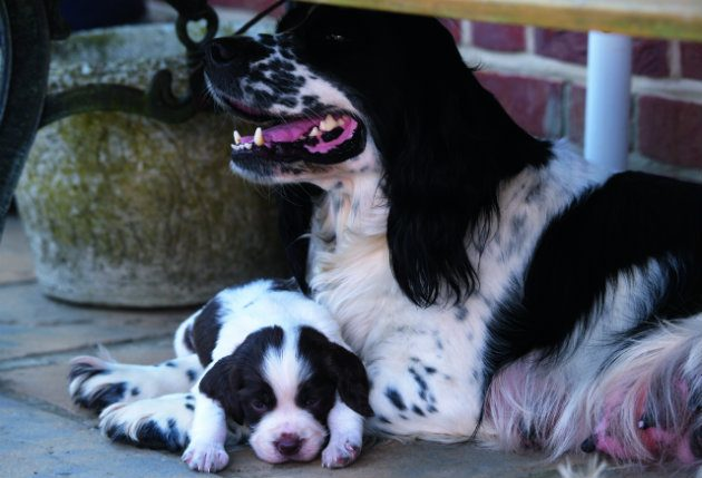 cocker spaniel puppy with mother
