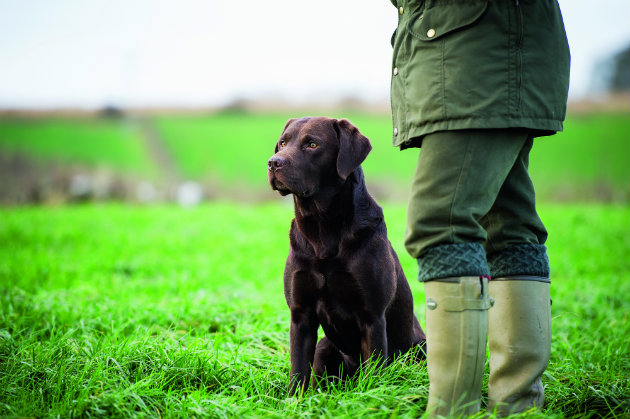 Chocolate Labradors As Working Gundogs In The Field