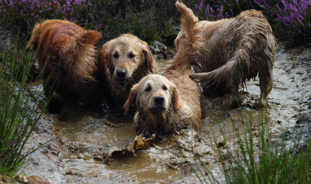 golden retrievers why aren t they more popular in the field