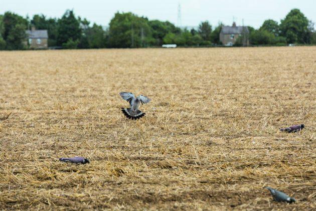 pigeon in field